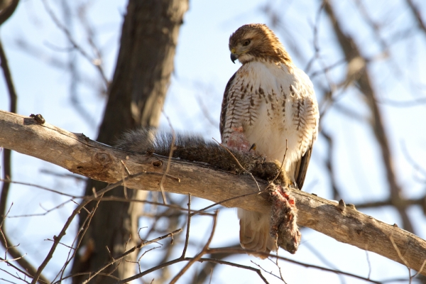 Hawk watching its prized squirrel.