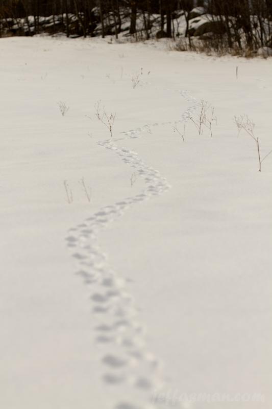 Bigger critter (coyote?) tracks