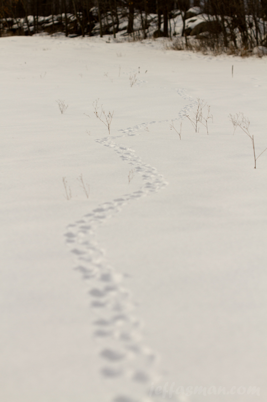 Bigger critter (coyote?) tracks